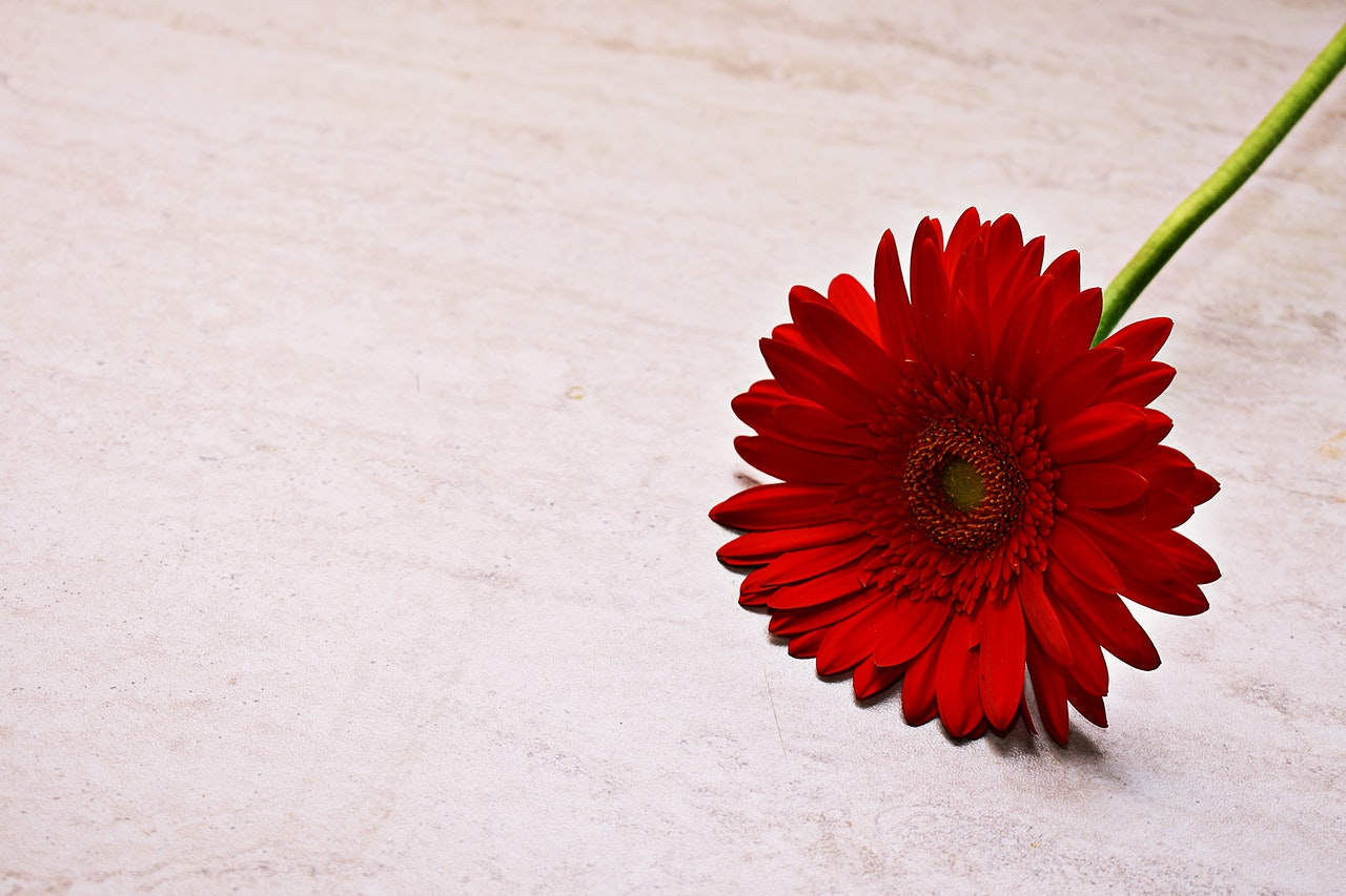Gerbera, Photo by Dids from Pexels